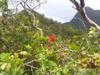 ハワイ原生植物 -オヒア( 'ohia)-