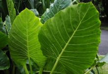 largeleaves2