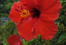 redhibiscus